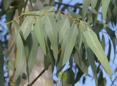 Okaliptus