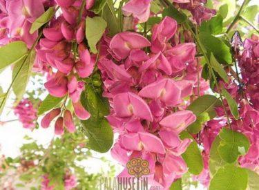 Pembe ciçekli Akasya