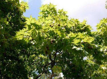 Platanus_acerifolia