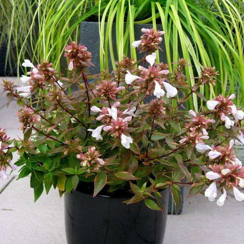 Abelya-Abelia grandiflora