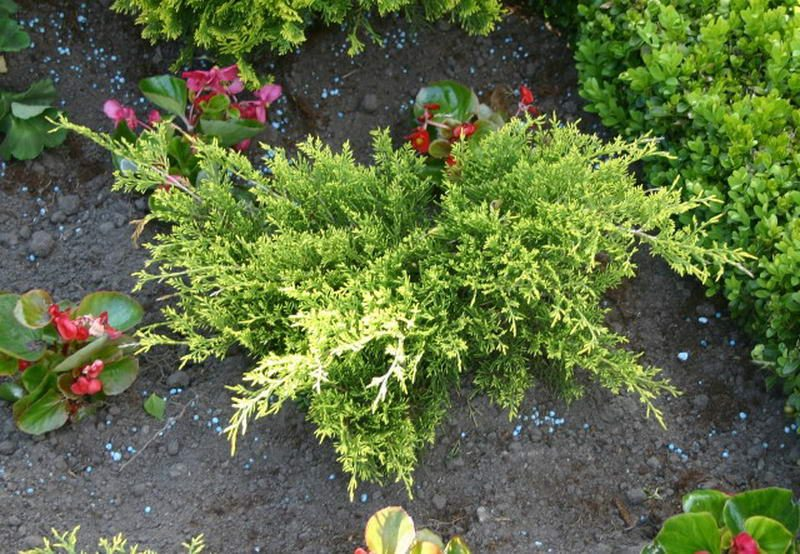Ardıç Altuni juniperus_media_old_gold