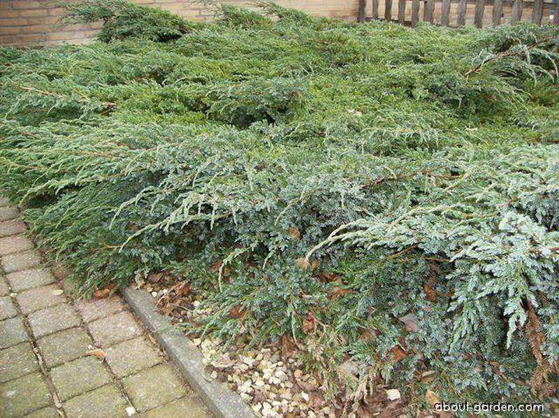 Ardıç yayılıcı juniperus-horizontalis