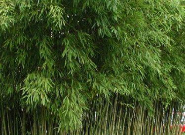 Bambusa-aurea