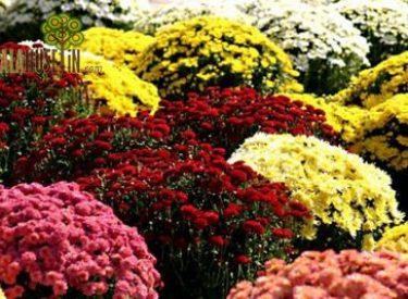 Chrysanthemum-maximum