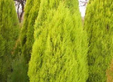 Cupressus-macrocarpa