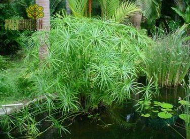 Cyperus-papirus