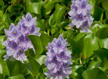 Eichhornia-crassipes