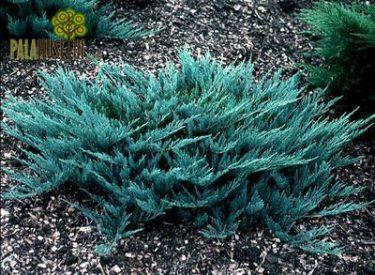 Juniperus-horizantalis