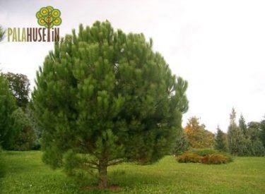 Pinus-pinea