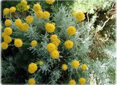 Santolina-chamaecyparissus