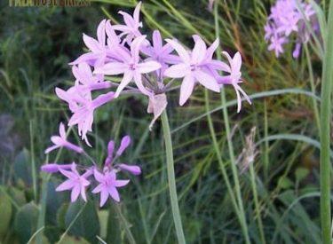 Tulbaghia-violaceae