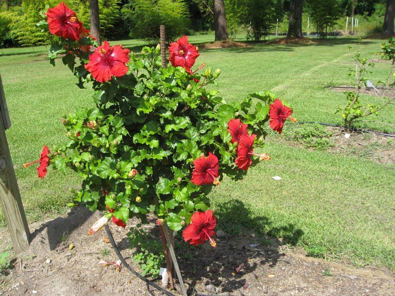 japon_gulu Hibiscus rosa-sinensis