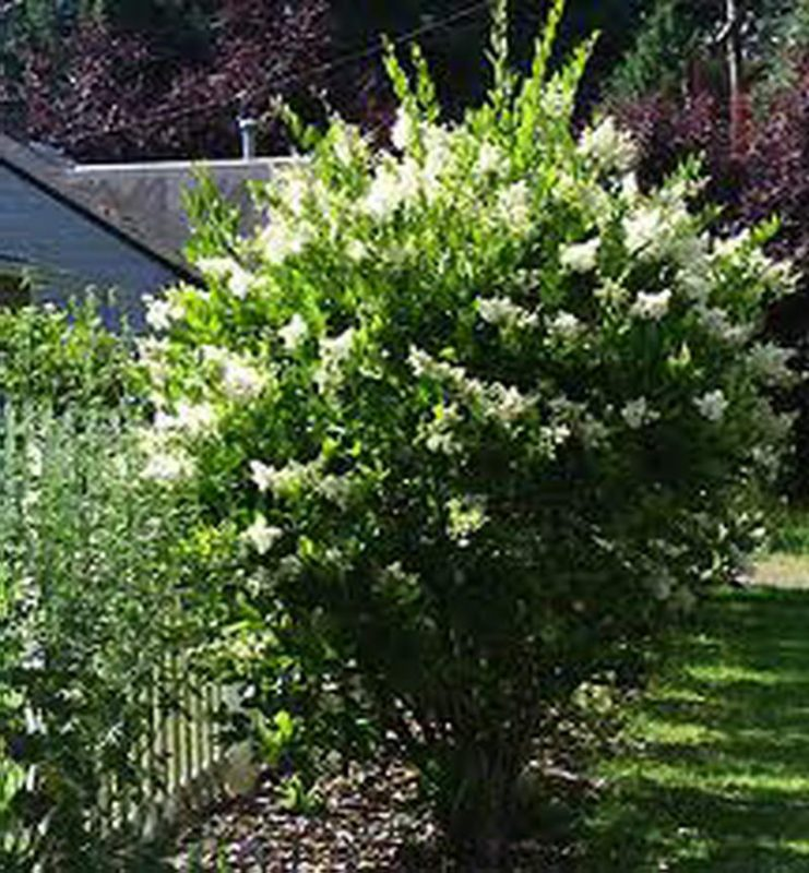 ligustrum agac japonicum