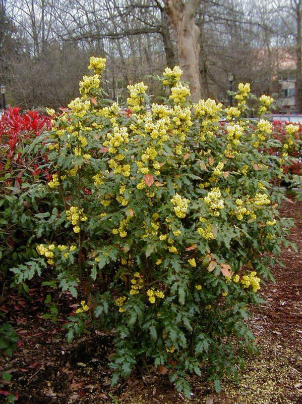 mahonya mahonia aquifolium