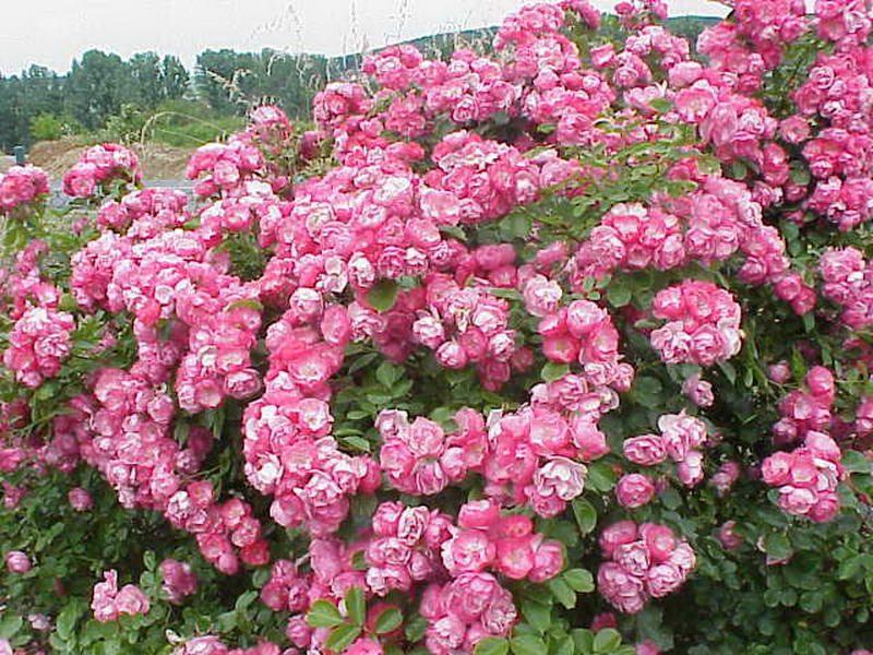 minyatur_gul Rose x moschata