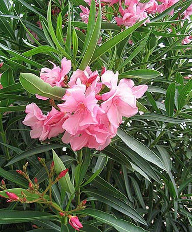 zakkum nerium oleander