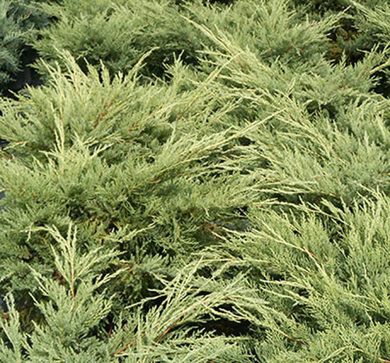 Ardıç Altuni Çin Ardıcı Juniperus-chinensis-Pfitze-Aurea