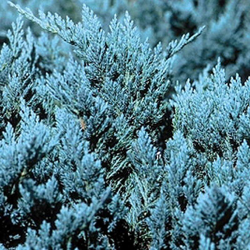Ardıç Bodur Mavi JuniperusBlueChip2