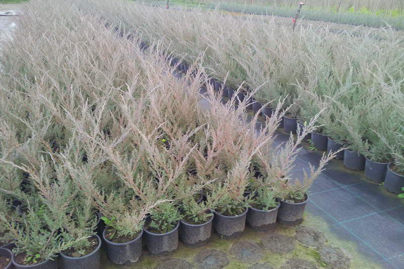 Ardıç Sabin juniperus_sabina