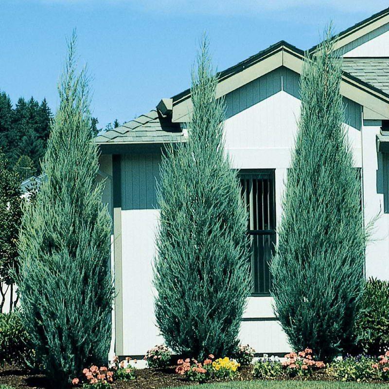 Ardıç Skyrocket Juniperus scopulorum skyrocket