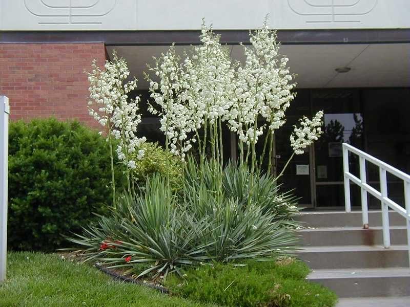 Avize çiçeği yucca_filamentosa