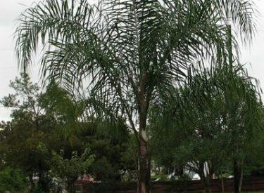 Cocos-plumosa