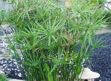 Cyperus-alternifolius