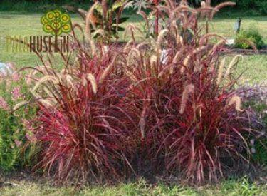 Penisettum-setacum-rubrum
