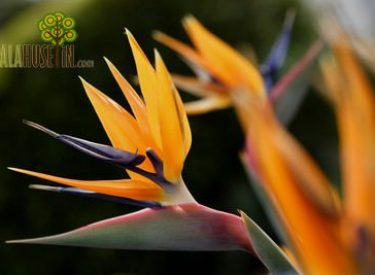 Strelitzia-reginae