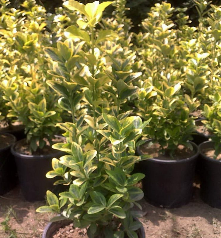 Taflan Altuni Euonymus_japonica_aurea