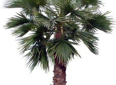 Washingtonia-filifera