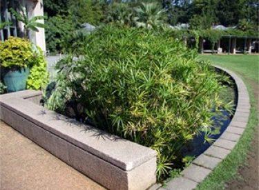 cyperus-alternifolius-japon-semsiyesi