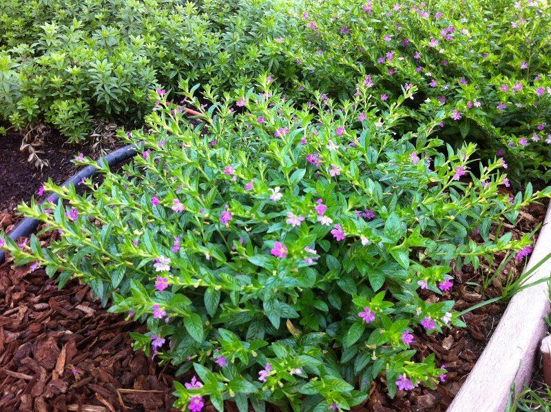 kufeya Cuphea hyssopifolia