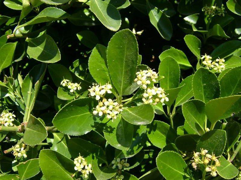 taflan_Yeşil Euonymus japonicus